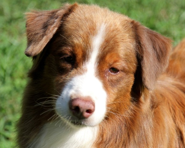 Australian shepherd Tricolor red female