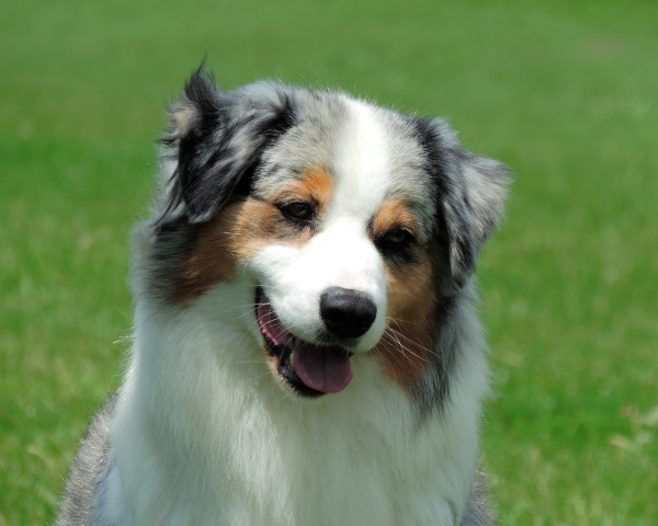 Australian Shepherd Blue merle female
