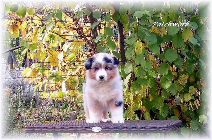 femmina blue merle